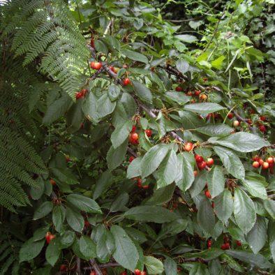 wild-cherrys