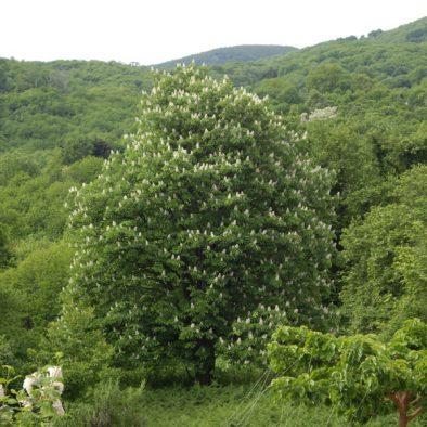 wild-chestnut-2