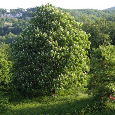 wild-chestnut